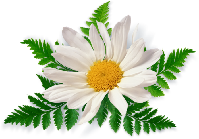 camomile_PNG672